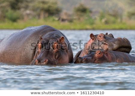 カバ 森林 動物 写真 屋外 日 ストックフォト © bmonteny