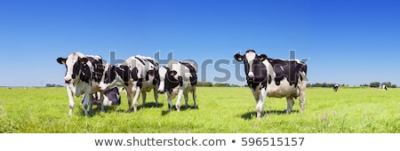 dutch cows on a meadow stock photo © hofmeester