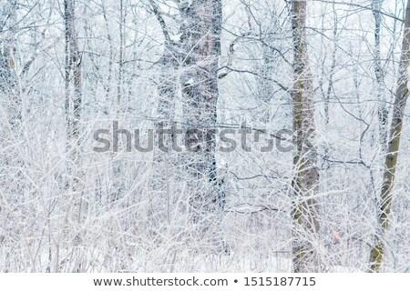 霧の 日 霜 霜 ツリー 光 ストックフォト © olandsfokus