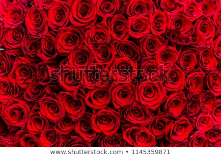 Close-up of bright colorful red rose flower Stock photo © pixachi