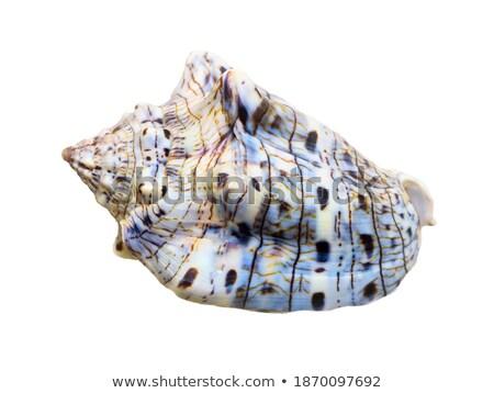 shell of voluta musica or music volute stock photo © yongkiet