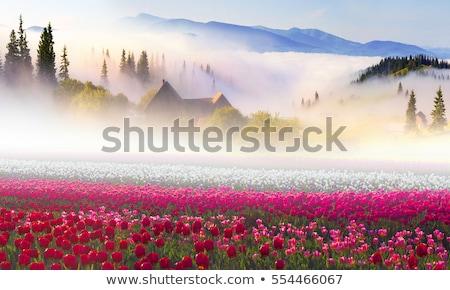 Asombroso tulipanes fantástico cielo azul rayos de sol flor Foto stock © Taiga
