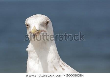 cabeça · gaivota · cara · oceano · azul · branco - foto stock © marekusz