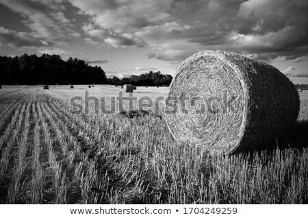 Gazda széna etetés épület férfi állatok Stock fotó © ivonnewierink