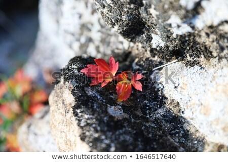 czerwony · pozostawia · słońce · świetle - zdjęcia stock © backyardproductions