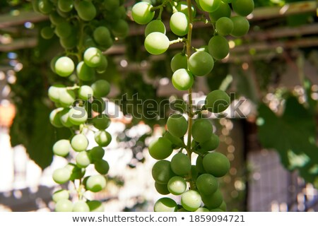racimo uvas =  bunches of grapes Stock photo © Photooiasson