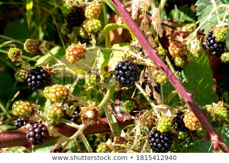 Közelkép friss szeder kert természet gyümölcs Stock fotó © bdspn