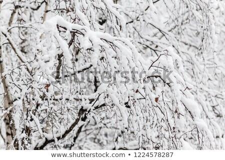 Rami betulla strato neve primo piano legno Foto d'archivio © TanaCh