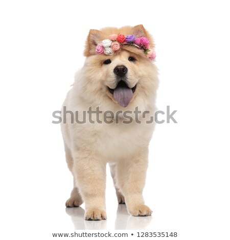 adorable chow chow wearing colored flowers headband standing Stock photo © feedough