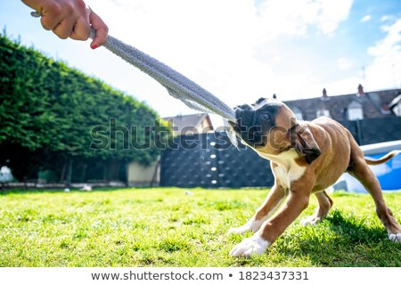 An adorable Boxer playing with towel Stock photo © vauvau