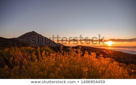 Fleurs jaunes tenerife parc fleur île Photo stock © Musat