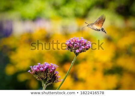 Hummingbird Hawk-moth Stock photo © suerob