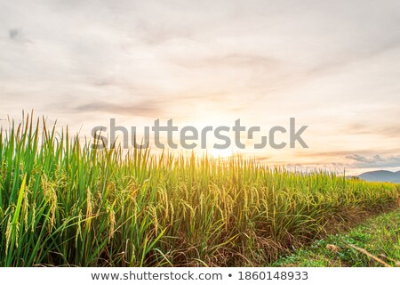 Stock photo: rice sunset farm