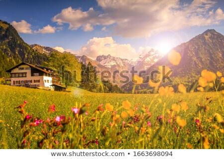 Löwenzahn gelbe Blume Frühling Sonne Blume Natur Stock foto © juniart