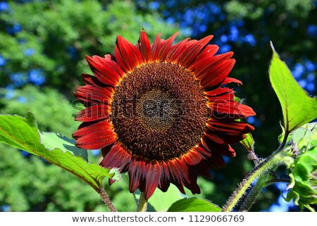 Sunflower on red Stock photo © danielgilbey