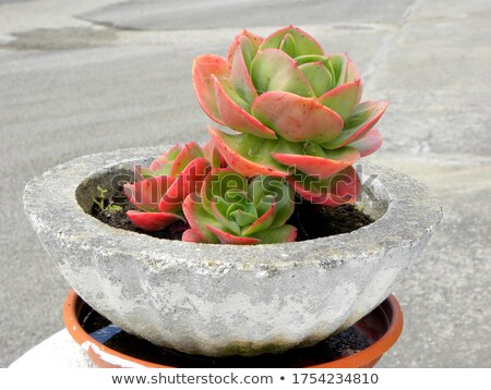Rock Rose Succulents Grey Stock photo © albund