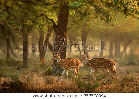 szarvas · park · India · ázsiai · állat · Ázsia - stock fotó © faabi