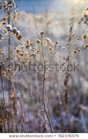 Congelada plantas prado backlight flor natureza Foto stock © meinzahn