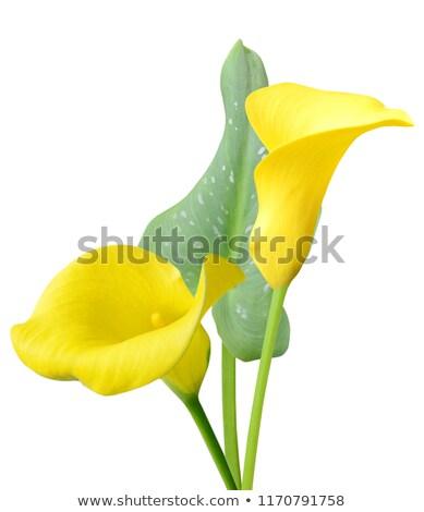 Yellow Calla Lilly Stock photo © zhekos