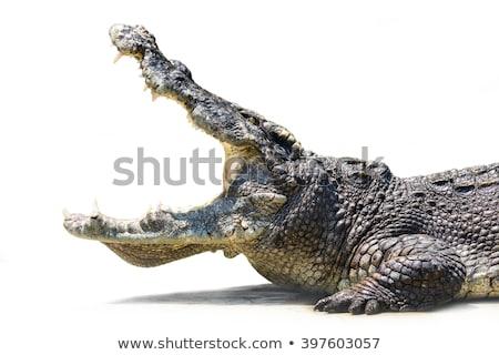krokodil · fej · nyitva · izolált · fehér · száj - stock fotó © karandaev