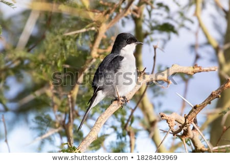 fiscal flycatcher sigelus silens stock photo © dirkr