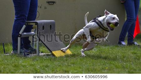 Bika terrier rottweiler fehér kutya barátok Stock fotó © cynoclub