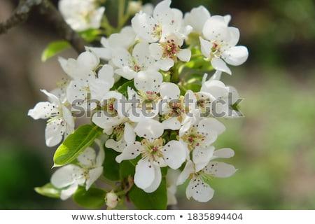 inflorescence pears stock photo © andriy-solovyov