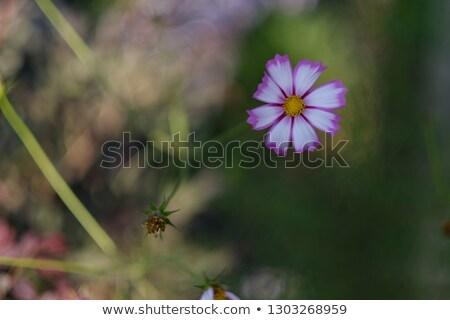 Pembe bahçe bitki güzel çiçek doğal Stok fotoğraf © smartin69