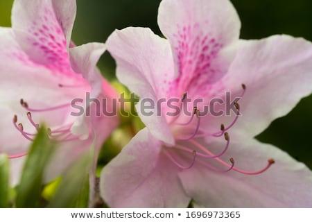 Pink azaleas Stock photo © master1305