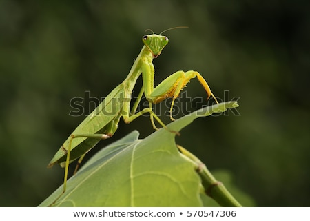 Praying mantis on a bush macro Stock photo © njnightsky