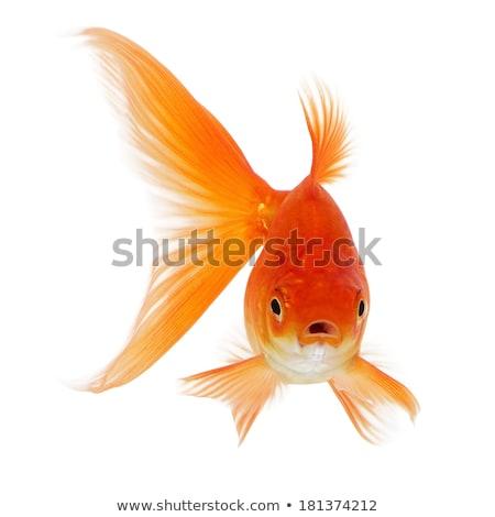 red fish in bowl Stock photo © adrenalina
