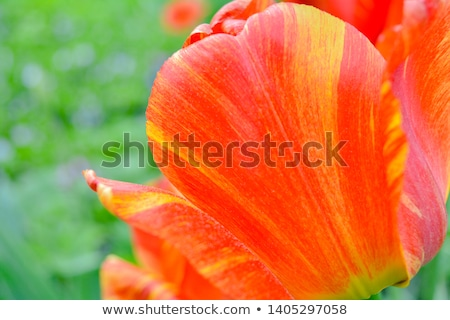 pink  and red tulips Stock photo © compuinfoto