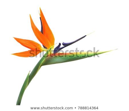 kuş · cennet · vinç · çiçek · arkadan · görünüm · mavi · gökyüzü - stok fotoğraf © homydesign