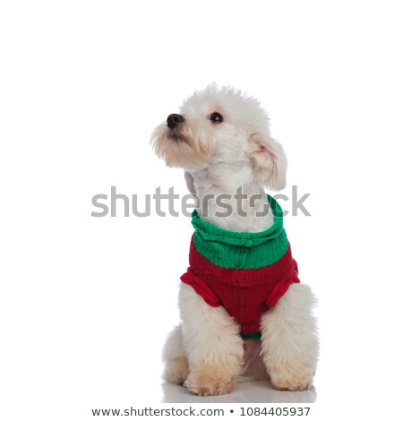 cute seated bichon wearing a sweater looks up to side stock photo © feedough