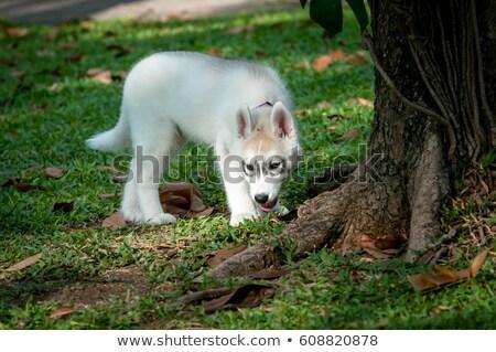 Szürke husky elöl fehér kutya barátok Stock fotó © cynoclub