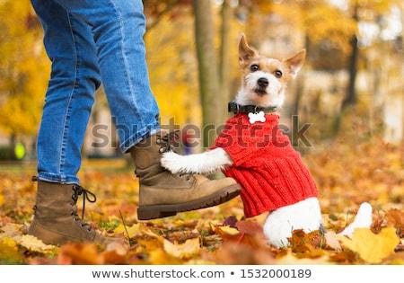 犬 セーター 白 背景 服 ストックフォト © boggy