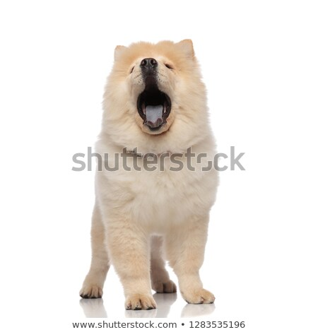 adorable chow chow yawning with mouth open while standing Stock photo © feedough