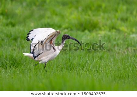 African Sacred ibis walks in the park Stock photo © galitskaya