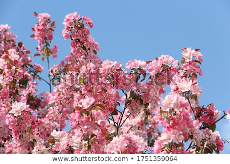 Cherry Blossom, Moscow, Russia Stock photo © borisb17