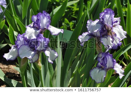 Iris plant Stock photo © Arrxxx