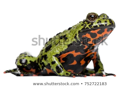 Fire-Bellied Toad Stock photo © macropixel