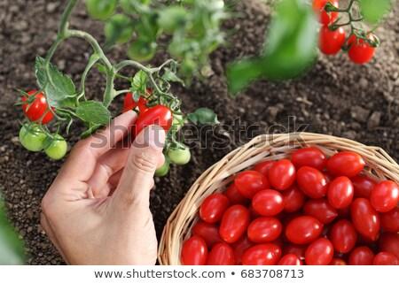 freshly picked cherry tomatoes stock photo © kuzeytac