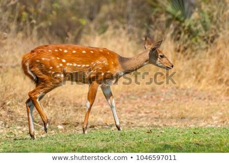 Bush buck - Tragelaphus sylvaticus stock photo © serendipitymemories