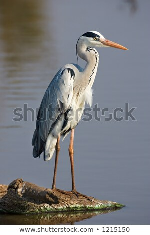 Grey heron walking in water Stock photo © Elenarts