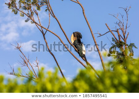 Silvery cheeked hornbill sitting on branch Stock photo © Nejron