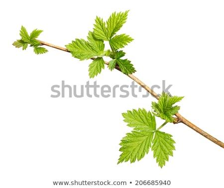 blackberries at a twig stock photo © olandsfokus