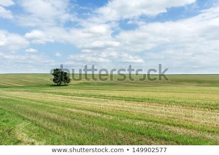Borosta mező egyedüli fa ősz vidéki táj Stock fotó © olandsfokus
