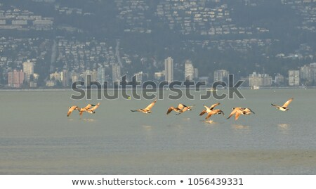 Canada Geese Skimming the Water Stock photo © brianguest