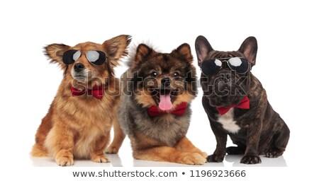 üç · sevimli · köpekler · border · collie · avustralya · çoban - stok fotoğraf © feedough