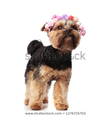 cute yorkshire terrier wearing fresh flowers headband looks up Stock photo © feedough